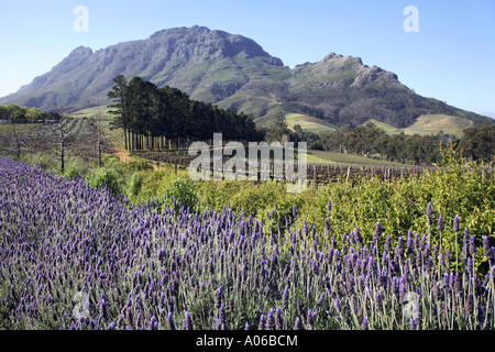 Thelema vineyards near Stellenbosch in South Africa - Stock Photo