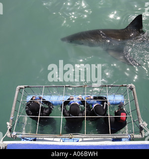 a great white shark swimming near a diving cage - Stock Photo
