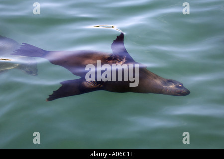 Cape fur seal swimming just under the surface of the water - Stock Photo