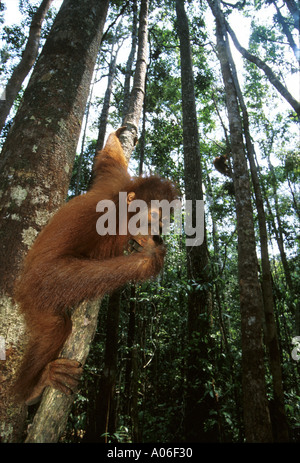 Young Orangutans playing in Forest - Stock Photo