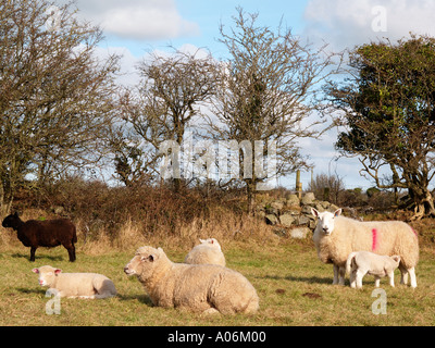FEMALE SHEEP with LAMBS 'Dorset Horn' and Texel breeds in a field Anglesey Wales UK Britain - Stock Photo