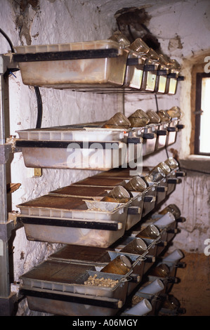 White Mice grown for live reptile feed on farm - Stock Photo
