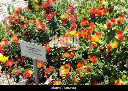 Protea Tufted Pincushion Leucospermum Oleifolium at Kirstenbosch Botanical Garden Cape Town South Africa RSA - Stock Photo