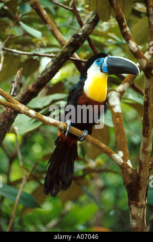 Sulphur and White Breasted Toucan, Ramphastos vitellinus vitellinus, Ramphastidae, Venezuela. Aka Channel-Billed - Stock Photo