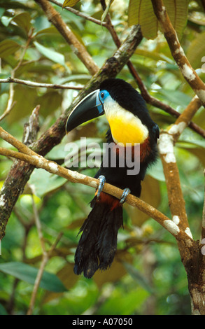Channel-Billed Toucan or Sulphur and White Breasted Toucan, Ramphastos vitellinus vitellinus, Ramphastidae, Venezuela. - Stock Photo