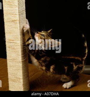 Animals cat behaviour tabby kitten on scratching post - Stock Photo