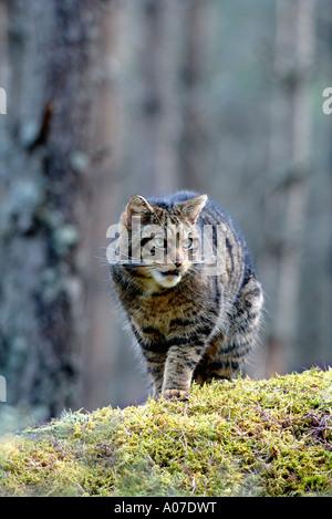 portrait of a wary scottish wildcat stalking through a highland pinewood scotland - Stock Photo