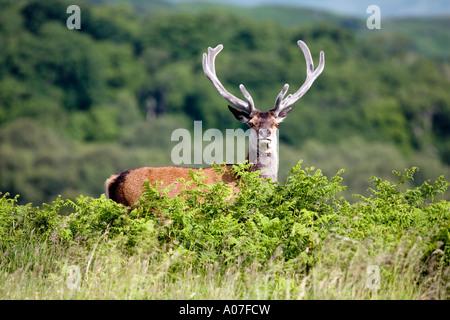 Red deer stag, (Cervus elaphus) , Isle of Mull, Scotland, United Kingdom - Stock Photo
