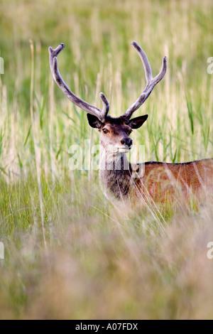 Red deer stag, (Cervus elaphus) , Lochdon, Isle of Mull, Scotland, United Kingdom. - Stock Photo