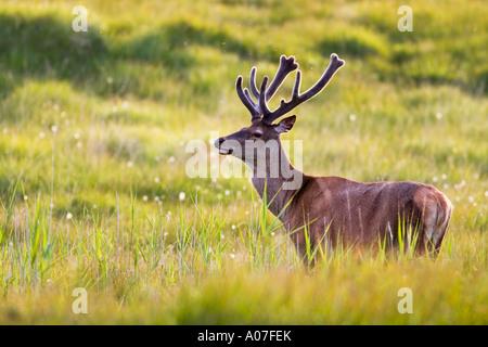 Red deer stag, (Cervus elaphus), Isle of Mull, Scotland, United Kingdom. - Stock Photo