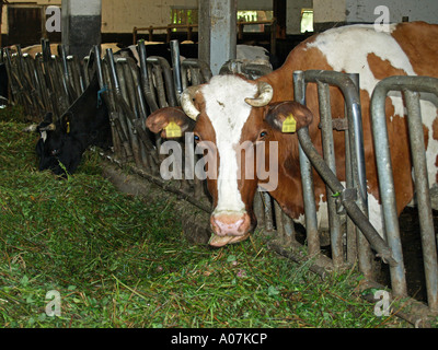 cows in cowshed eating fresh hay - Stock Photo