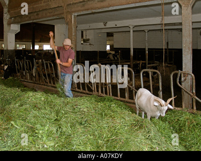 young farmer accompanied from goat feeding cows in cowshed with fresh hay - Stock Photo