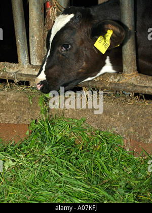 calf in cowshed eating fresh hay - Stock Photo
