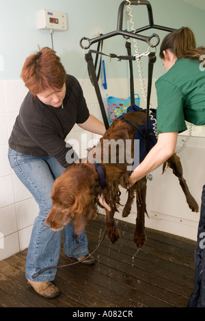 Dog in harness being lifted out of hydrotherapy pool - Stock Photo