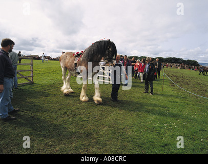 dh County show KIRKWALL ORKNEY Clydesdale horse being lead from display ring - Stock Photo