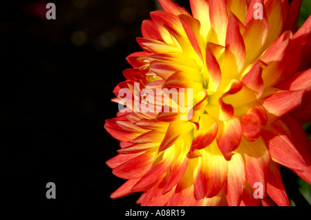 Dahlia Compositae Trelyn Sunset - Stock Photo