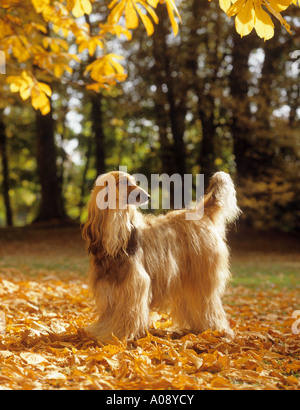 Afghan hound - in foliage - Stock Photo