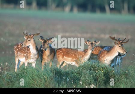 fallow deer (Dama dama, Cervus dama), browsing group, Sweden, Oeland - Stock Photo