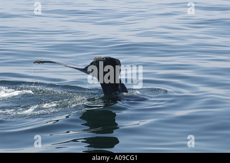 A Humpback Whales Tail (Fluke) shows as he dives. - Stock Photo