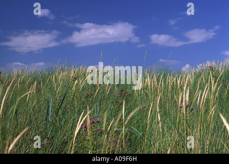 Sand dunes in summer at Sandscale Hawes - Stock Photo