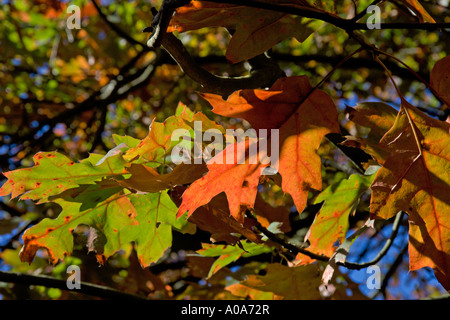 Chinese Hillside Garden variegated leaves Acer Autumn colours Royal Botanic Garden Edinburgh Inverleith - Stock Photo