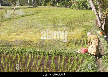 Old Woman In Rice Paddy, Bali