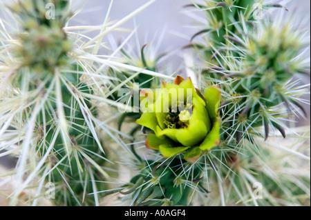 Buckhorn Cholla Opuntia acanthocarpa Anza Borrego Desert State Park California - Stock Photo