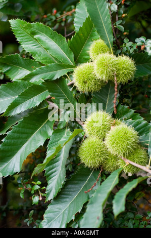 Sweet chestnut tree with nutshells and leaves fagaceae castanea sativa - Stock Photo