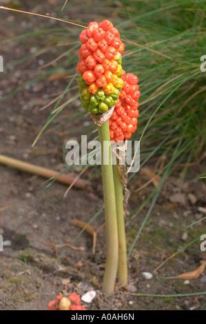 Red fruits of cuckoo pint Araceae Arum maculatum - Stock Photo
