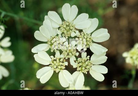 ORLAYA GRANDIFLORA (WHITE LACE FLOWER) - Stock Photo
