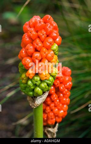 Red fruits of cuckoo pint Araceae Arum maculatum lords and ladies portland arrowroot cuckoopint - Stock Photo