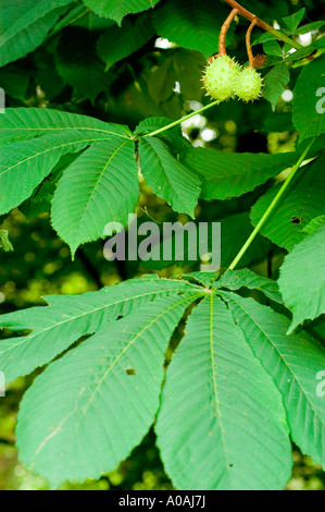 Sweet chestnut tree branch with nutshells and leaves fagaceae castanea sativa - Stock Photo