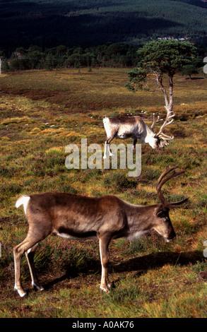 2 Captive but free ranging reindeer photographed in Cairngorm national park Scotttish Highlands Grazing on mountainside - Stock Photo