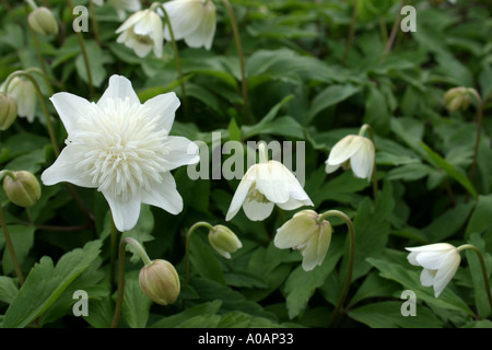 White flowers of double variety of garden plant Anemone nemorosa Vestal Common name is Wood Anemone - Stock Photo