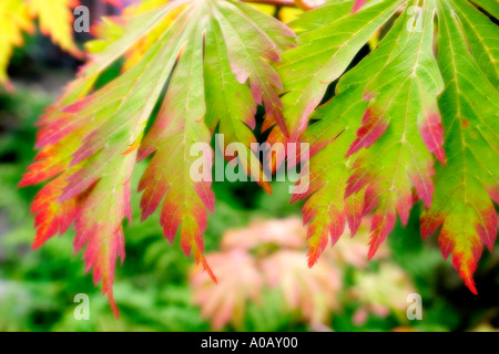 Acer or japanese maple leaves in autumn Closeup soft focus - Stock Photo