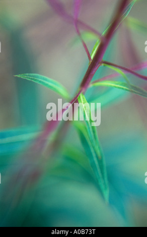 Atmospheric close up of purple stem and seedpods and green leaves of Rosebay willowherb or Fireweed in late summer - Stock Photo