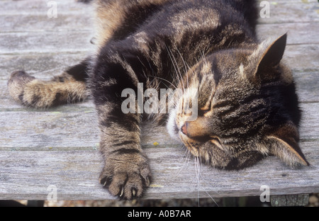 Close up of head and front legs of domestic tabby cat stretched out and contentedly dozing on wooden garden table - Stock Photo