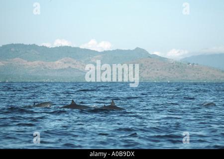 shortsnouted whitebelly dolphin, Fraser's dolphin, Sarawak dolphin, Bornean dolphin (Lagenodelphis hosei), school, - Stock Photo
