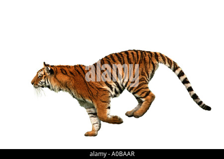 tiger (Panthera tigris), running - Stock Photo