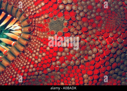 comb star (Astropecten spec.), detail, view from above - Stock Photo