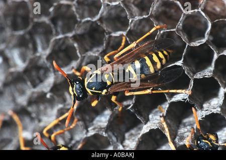 common wasp (Vespula vulgaris), at the nest, Hungary - Stock Photo