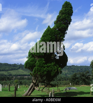 Pine Tree blown over by strong winds - Stock Photo