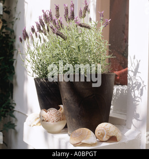 Lavender pots on windowsill with seashells - Stock Photo