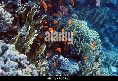 JORDAN AQABA RED SEA the royal diving center Jordan Royal ecological Diving Society coral reef reefs fish - Stock Photo