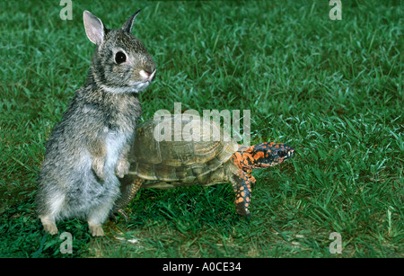 The tortise and the hare: A cottontail rabbit is set to race the turtle in a story that might not turn out as expected, - Stock Photo