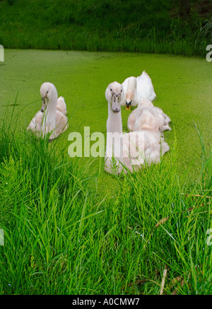 Family of young mute swans swimming together in canals of Amsterdam in the Netherlands - Stock Photo