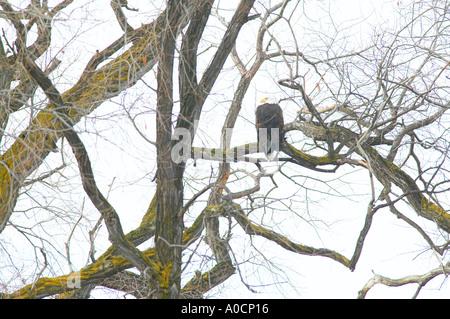 Bald Eagel in tree with Lower Klamath Fall National Wildlife Refuge California - Stock Photo