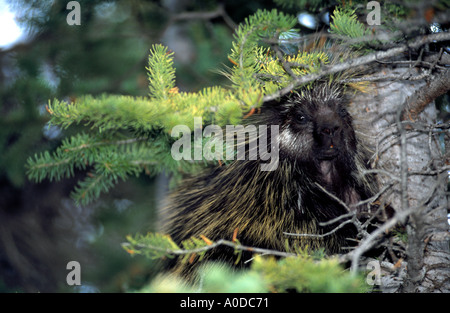 Porcupine Erethizon dorsatum in tree Banff National Park Alberta Canada - Stock Photo