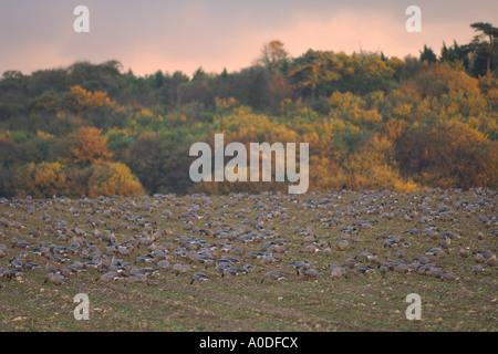 Pink footed geese Anser brachyrhynchus flock feeding in sugar beet field Norfolk England November - Stock Photo