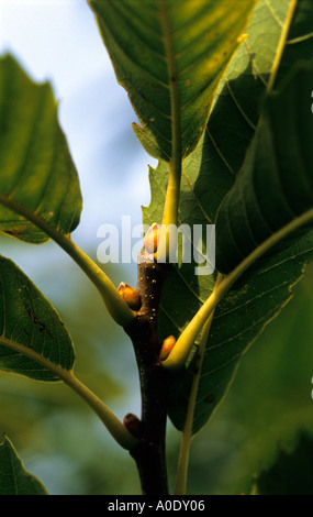 Sweet chestnut Castanea sativa leaves and buds - Stock Photo